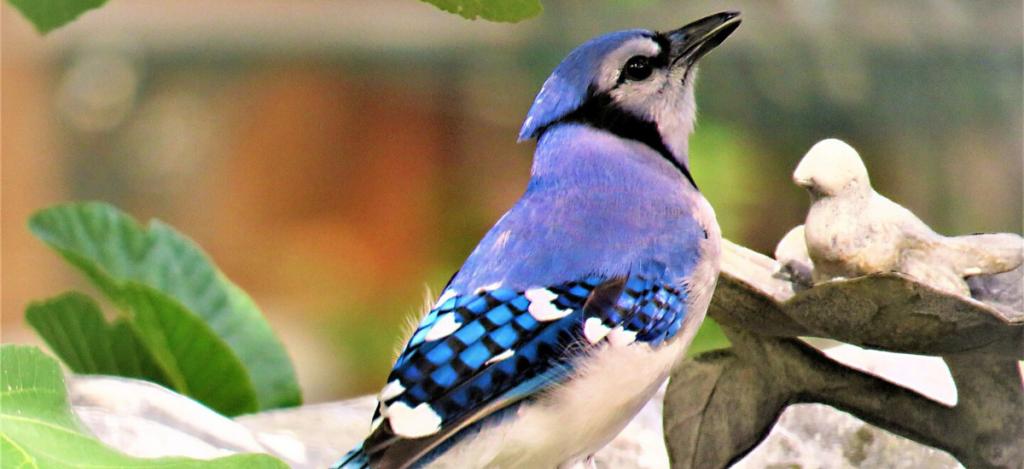 Blue jay spirit animal