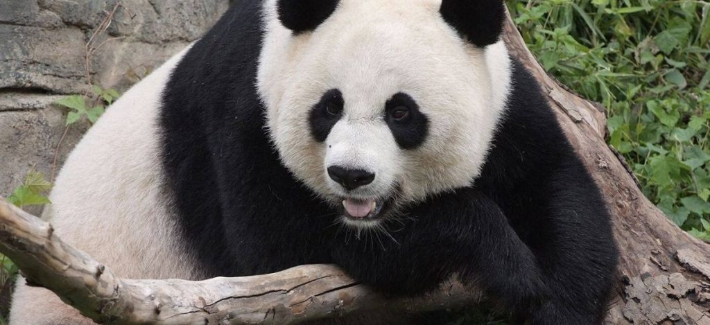 What Does a Panda Symbolize?